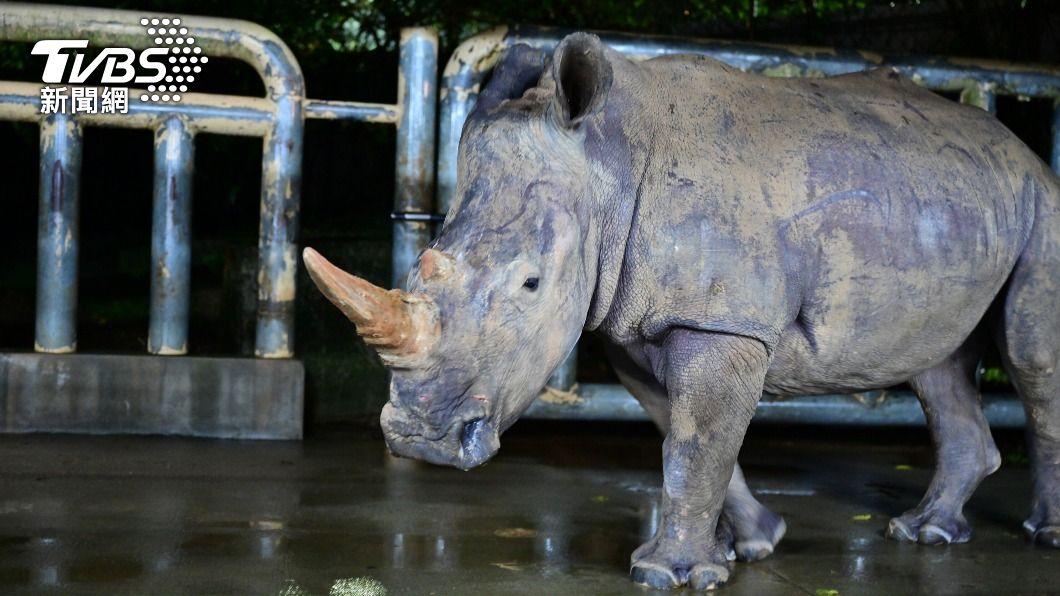 六福村動物園犀牛妹艾瑪。(圖/中央社) 犀牛妹艾瑪抵達日本 聯姻擔負血緣豐富化重任