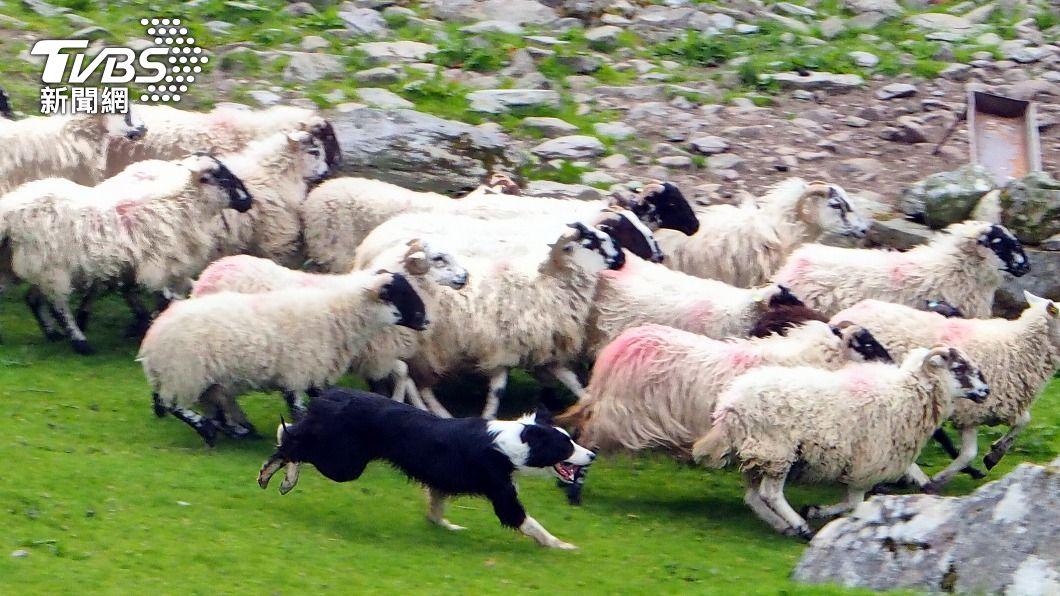 提利被發現時,正在當地牧場「無償」趕羊。(示意圖/shutterstock達志影像) 美國牧羊犬遇車禍遭噴飛 2天後竟在農場幫別人趕羊