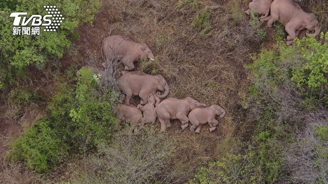 15頭亞洲象持續朝北方前進,遷徙原因仍是個謎。(圖/達志影像路透社) 雲南亞洲象持續北遷 沿途嗑光農作還酒醉