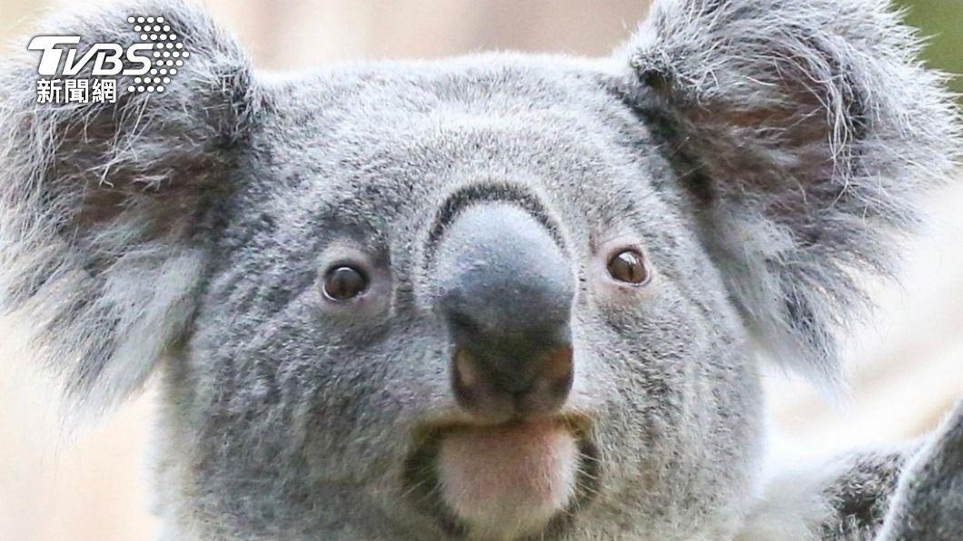 AI辨識技術運用在動物身上可以協助保育。(示意圖/達志影像 美聯社) 運用AI加強保育 澳洲研發無尾熊臉辨識技術