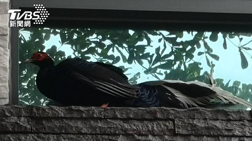 (圖/中央社) 保育類藍腹鷳來訪!徘徊民宅窗邊 1公尺長身影嚇到民眾