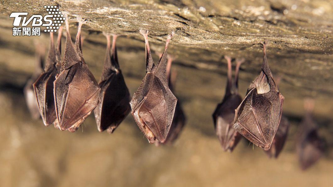 (示意圖/shutterstock 達志影像) 陸爆首例18個月前 傳武漢科學家擬讓蝙蝠感染病毒