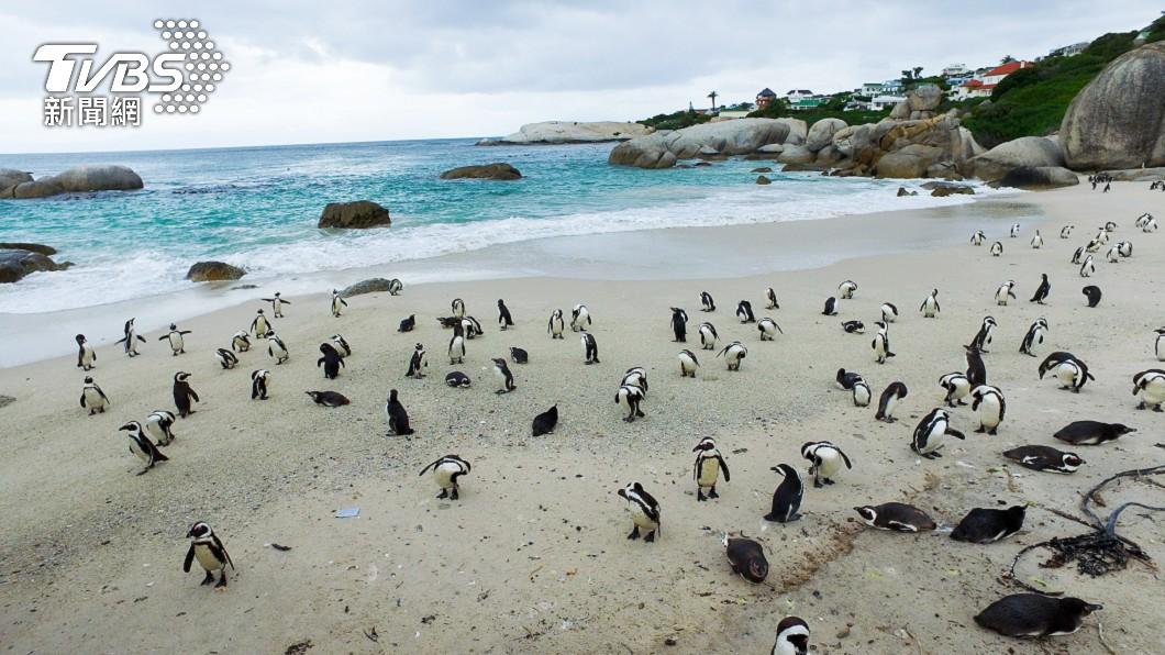企鵝集體身亡 。(示意圖/shutterstock達志像) 異相再現災難前兆?企鵝「集體暴斃」 身體無外傷超離奇
