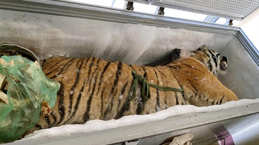 越南警方日前破獲一起冷凍老虎的案件。(圖/翻攝自臉書Education for Nature - Vietnam (ENV)) 冰櫃驚見160公斤「冷凍老虎」 屋主收錢辯:朋友寄放