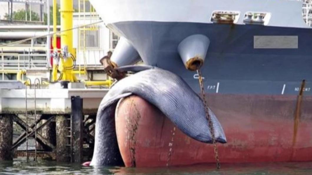 一艘油輪就這麼掛著「屍體」開進港。(圖/翻攝自水島海上保安部) 驚悚畫面曝光!油輪掛巨大「鯨屍」 開進港口才發現