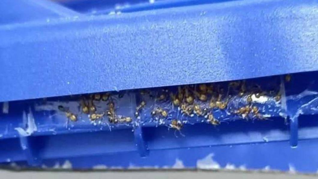 奶粉罐上頭驚見成群螞蟻,網友控訴廠商。(圖/翻攝自爆怨2公社) 喝完才發現!奶粉蓋佈滿螞蟻屍體 廠商回覆引網熱議