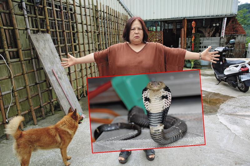 【毒蛇放滿村】放生太超過 苗栗泰安滿村盡是眼鏡蛇
