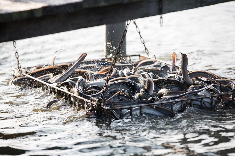 長知識!鰻魚有毒嗎? 被鰻魚咬到怎麼辦