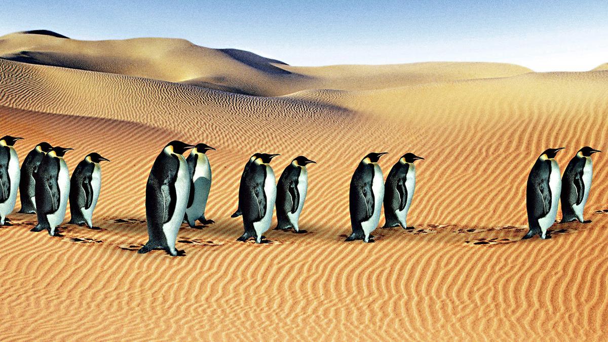 企鵝所在的南極大陸有可能會變成一片沙漠,在氣候急遽變化的未來,這種場面確實可能成真。