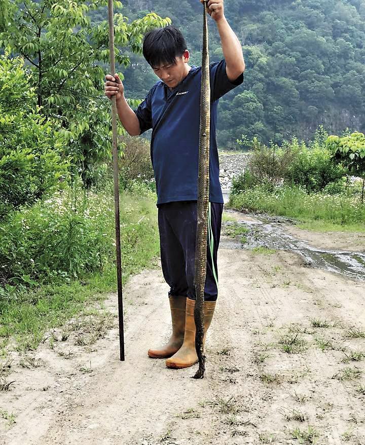 曾有身長超越成年男子的眼鏡蛇出沒泰安鄉農田中,還有農民被嚇得不敢下田工作。(翻攝網路)