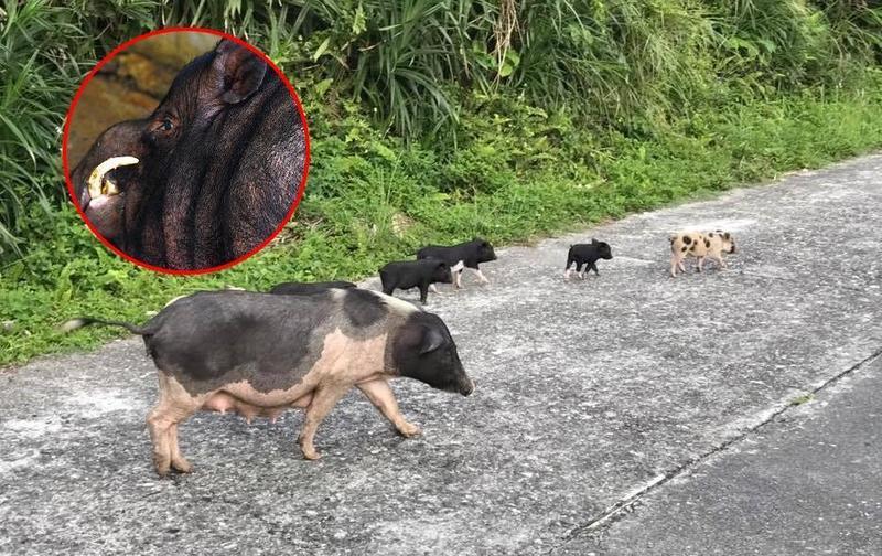 野豬通緝令!都是蹺家惹的禍 可愛肉豬變獠牙8+9