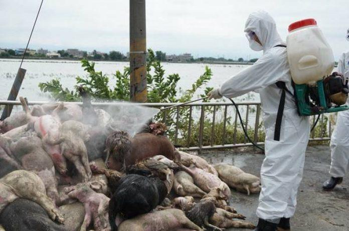 撲殺口蹄疫上萬豬隻 「那瀕死前的眼神,我忘不了」