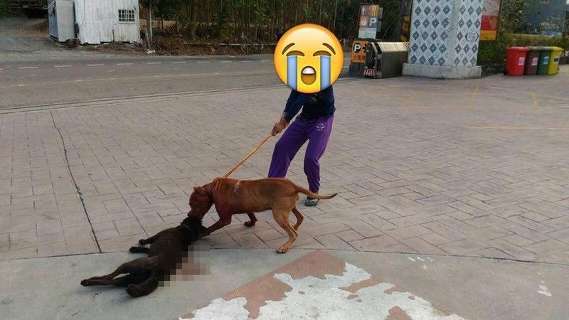 比特犬3度咬死同類 飼主出國不約束