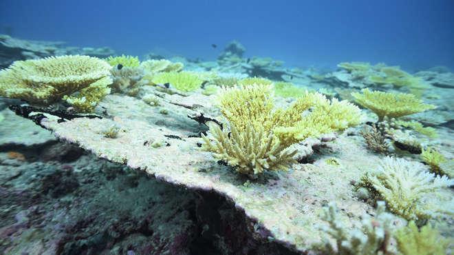 圖/鏡週刊提供 熱浪接二連三 70%印度洋硬珊瑚死亡