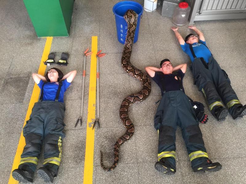 圖/鏡週刊提供 澄清湖6公尺巨蟒 消防員大膽合拍「開箱照」