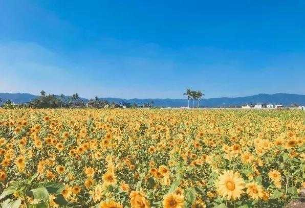 愛在杉林花美濃花海。