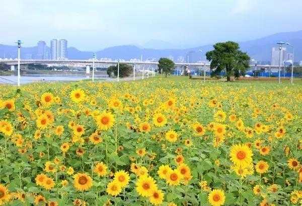 台北彩虹河濱內湖側向日葵。(圖台北市工務局)