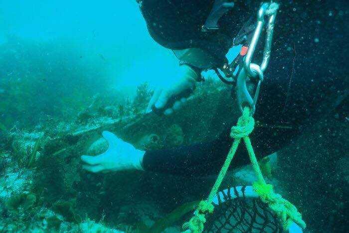 潛水員在寒冷海域下海親手捕撈