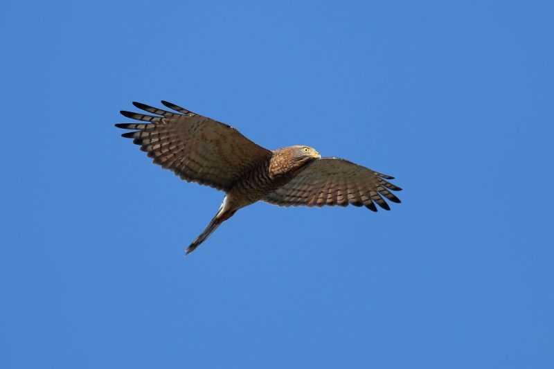 灰面鷲(陳王時攝)台北市野鳥學會提供