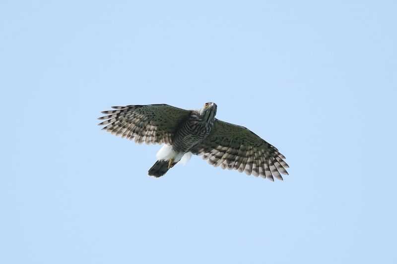 鳳頭蒼鷹(雄)(陳王時攝)台北市野鳥學會提供