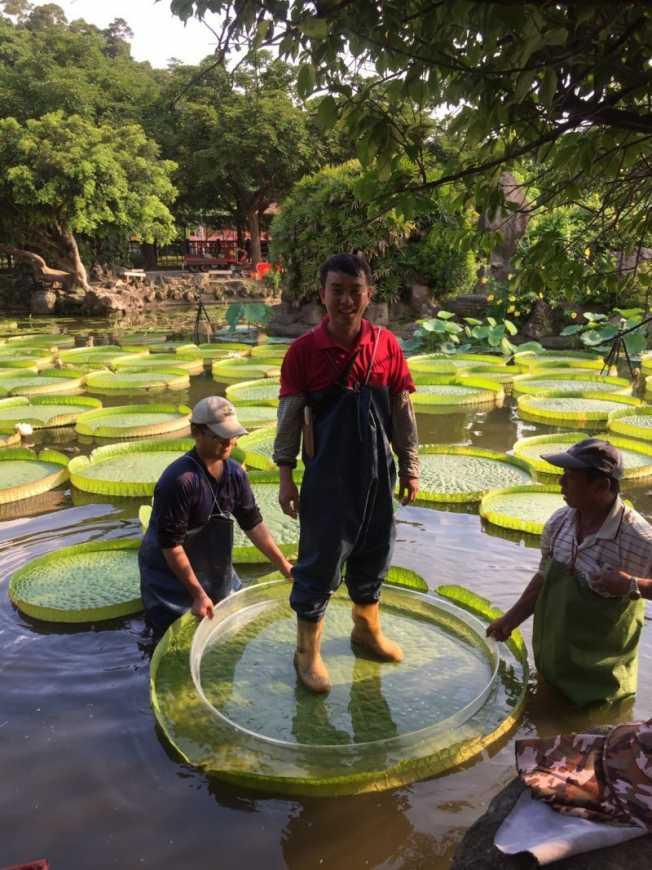 培育大王蓮的工作人員正在試乘,結果相當順利(台北市工務局提供)