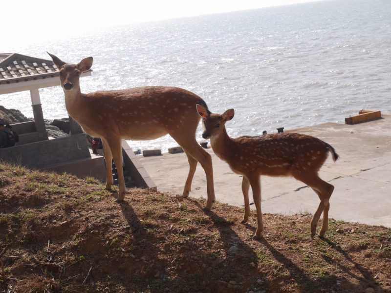 大坵島上原先只有時十餘隻梅花鹿野放,島上目前數量已達兩百多隻