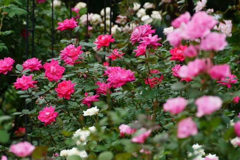 盛開的玫瑰花(臺北市政府工務局提供)