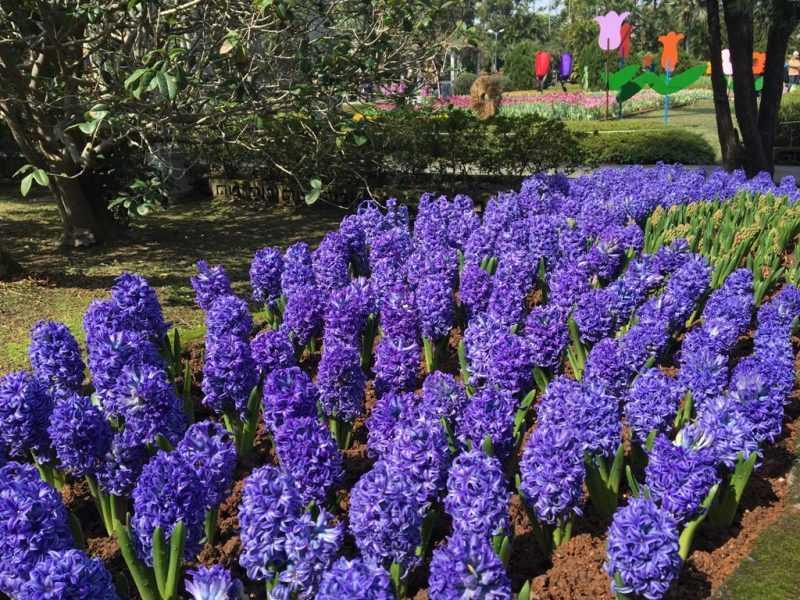 風信子香氣及艷麗亦是一大亮點(台北市工務局公園處提供)