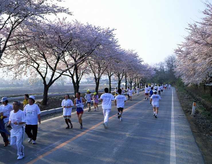 慶州櫻花馬拉松。(韓公社提供)