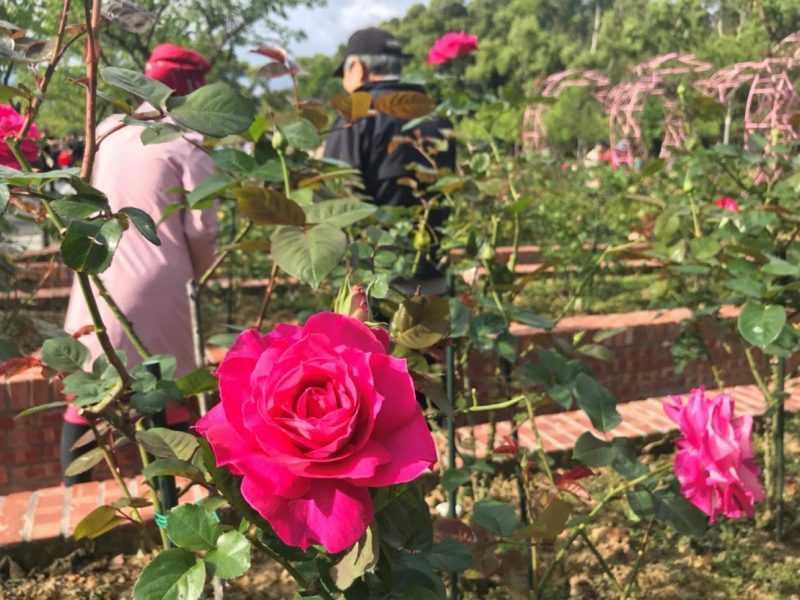士林官邸玫瑰園各色玫瑰陸續開放(臺北市工務局公園處提供)