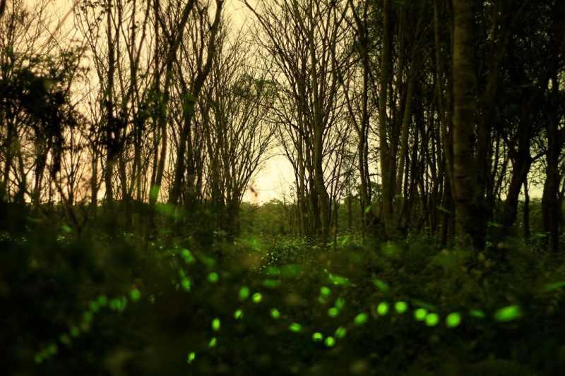 螢火蟲季(花蓮林區管理處提供)