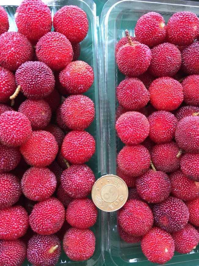 「大容量果園」主要以東魁樹梅為主,因為果實大小如同硬幣50元(新北市農業局提供)