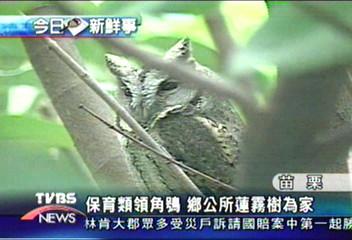 保育類領角鴞 鄉公所蓮霧樹為家