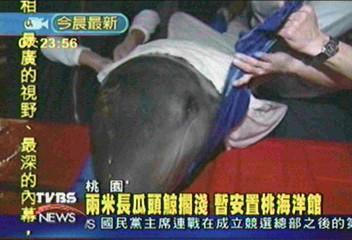 兩米長瓜頭鯨擱淺 暫安置桃海洋館