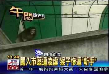 闖入市區遭凌虐 猴子慘遭「斬手」