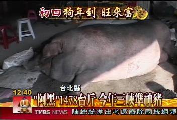 「阿黑」1478台斤 今年三峽準神豬