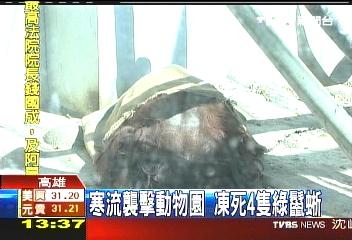 寒流襲擊動物園 凍死4隻綠鬣蜥