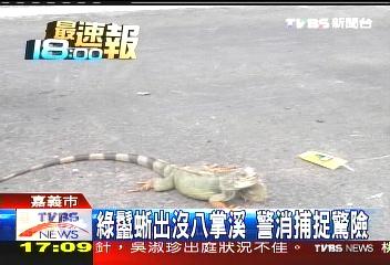 綠鬣蜥出沒八掌溪 警消捕捉驚險