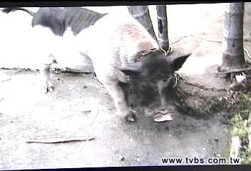 忙翻!麝香豬逛大街 咬傷警四處奔