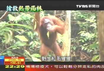 【搶救熱帶雨林】「小莉」的同鄉 紅毛猩猩瀕臨絕跡