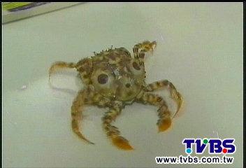 這螃蟹不橫行! 掛臉譜虎頭蟹「直直走」