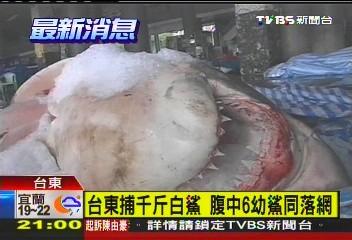 台東捕千斤白鯊 腹中6幼鯊同落網