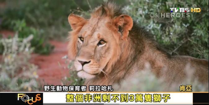 【FOCUS新聞】獅吼漸稀疏 非洲草原50萬隻剩3萬