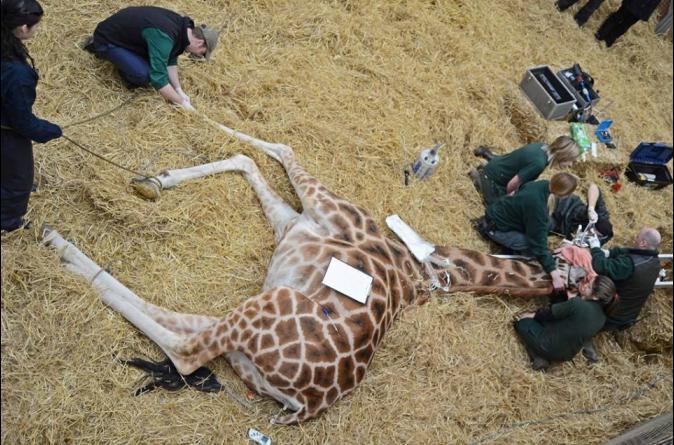 長頸鹿「蛀牙」怎麼醫? 全身麻醉、架梯防摔頸