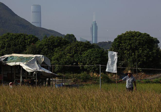 FOCUS新聞/香港有米!蔥綠水稻 絕跡近40載再現蹤