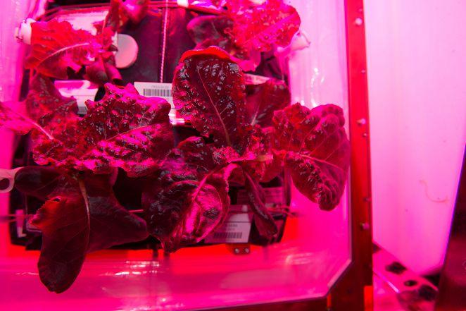 太空中種出第一批蔬菜! 助太空人抗輻射