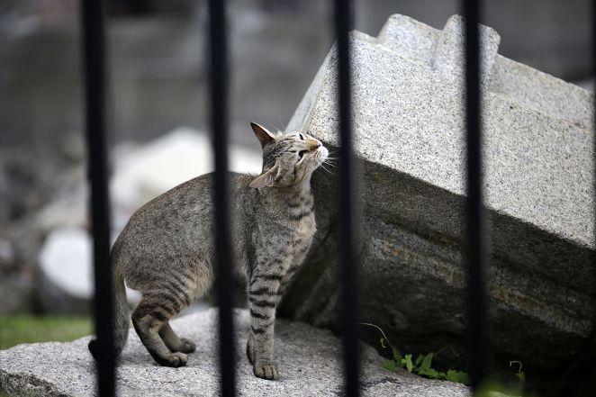 FOCUS/廣島山城千貓穿梭巷弄 愛貓人朝聖