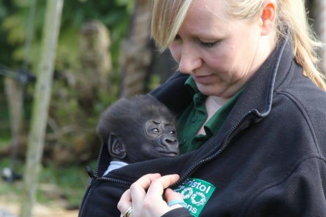 歡迎!7週大小猩猩首踏戶外 保育員環抱陪伴