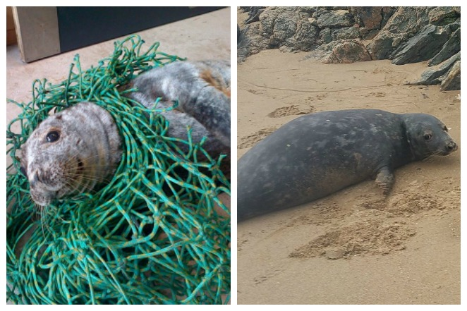 漁網纏脖!海豹受困 獲救後頻回頭致謝