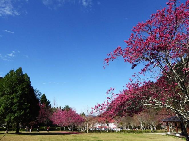 奧萬大換上粉紅新妝 櫻花盛開到3月